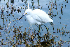 Snowy Egret. This image of a Snowy Egret was captured in Oceanside, California. The egret was hunting in the San Luis Rey river which empties into the ocean stock image
