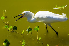 Snowy Egret. This image of a Snowy Egret was captured at the rookery in Venice, Florida.  The photograph was taken during the winter Stock Photos