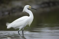 Snowy Egret In California Royalty Free Stock Images