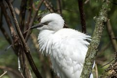 Snowy egret juvenile. Royalty Free Stock Photo