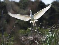 Free Snowy Egret Landing Stock Images - 2389944