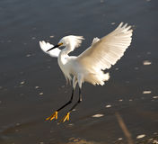 Snowy Egret Landing Stock Images