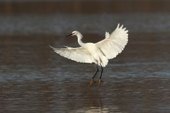 Snowy Egret Coming in for a Landing. Snowy Egret landing in a shallow pond in Augustine Wildlife Area in central Delaware Stock Photos