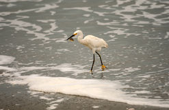 Snowy Egret with Large Sand Crab. Snowy Egret (Egretta thula) with large sand crab on the coast of Ecuador, near the village of Posorja Stock Image