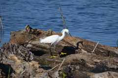 Snowy Egret On Log. A snowy egret walks across a fallen log a Everglades National Park. Identifying bright yellow feet are clearly visible royalty free stock photography