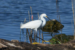 Snowy Egret On Log Royalty Free Stock Images