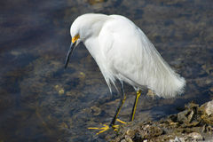 Snowy Egret Looking. Snowy Egret, Egretta Thula, looks for food at Everglades National Park stock photography