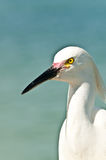 Snowy egret looking along beach shoreline. For the next meal on an  section of a beach on the Gulf of Mexico Stock Photos