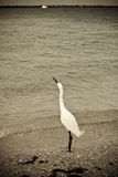 Snowy Egret Looking Skyward Ol. Snowy egret looking skyward on the beach in grainy oldtime Photo Stock Photography