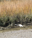 Snowy Egret in Marsh Stock Photography