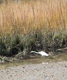 Snowy Egret in Marsh Stock Photography