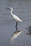 Snowy Egret, Merritt Island National Wildlife Refuge, Florida Stock Photos