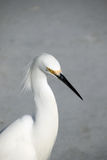 Snowy Egret Stock Images