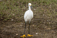 Snowy Egret #2 Royalty Free Stock Images