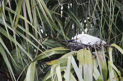 Snowy Egret Nest Stock Image