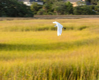 Snowy Egret Panning Royalty Free Stock Photo