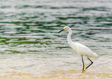 Snowy Egret by park national tayrona in Colombia Royalty Free Stock Images