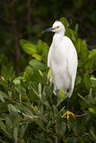 Snowy Egret. A snowy egret perched in a bush in Merritt Island, Florida Stock Photos