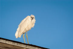 Snowy Egret perched on a covered fishing pier roof. Looking for food on a cool fall morning Stock Image