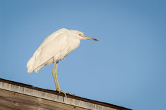 Snowy Egret perched on a covered fishing pier roof. Searching for food on a cool fall morning Royalty Free Stock Photos