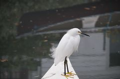Snowy Egret perched on a docked rowboat Royalty Free Stock Images