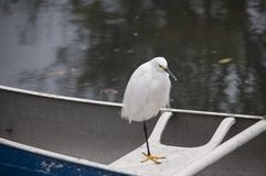 Snowy Egret perched on a docked rowboat Stock Photo