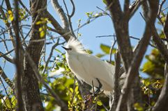 Snowy Egret Perched in a Tree Stock Image
