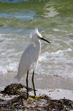Snowy egret. A snowy egret at a pier in Florida Royalty Free Stock Image