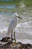 Snowy egret Royalty Free Stock Image