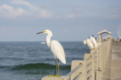 Snowy Egret On A Pier Royalty Free Stock Image