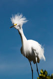 Snowy Egret with Plumage Royalty Free Stock Photo