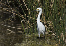 Snowy Egret in the pond Royalty Free Stock Images