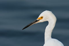 Snowy Egret Portrait Stock Photography