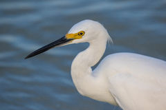 Snowy Egret Portrait Royalty Free Stock Images