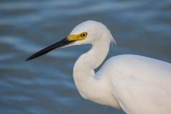 Snowy Egret Portrait Royalty Free Stock Images