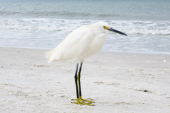 Snowy Egret posing on Beach Stock Images