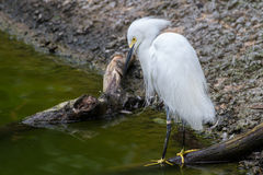 Snowy Egret. A snowy egret positioned along the water's edge Stock Photos