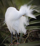Snowy Egret preening Royalty Free Stock Image