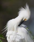 Snowy Egret preening Stock Images
