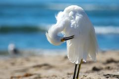 The Snowy Egret is Preening at Malibu Beach.  Stock Photo