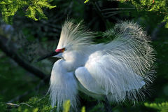 Snowy egret in preening mode. Taken in florida Stock Photography