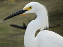 Snowy egret profile close-up stock photography