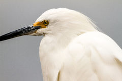 Snowy Egret Profile Royalty Free Stock Images