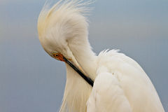 Snowy Egret Profile Royalty Free Stock Photography