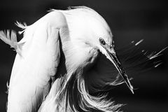 Snowy Egret Profile in Wind Royalty Free Stock Photography