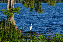 Snowy Egret, Reelfoot Lake, Tennessee. A Snowy Egret fishing along the banks of Reelfoot lake in Tennessee Stock Image