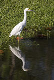 Snowy Egret Reflected on Pond Royalty Free Stock Photos