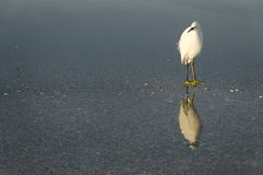 Snowy Egret Reflecting Stock Images