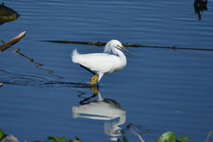 Snowy Egret Reflection. A beautiful snowy egret wades in an estuary in Everglades National Park, Florida Stock Photography