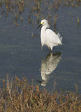 Snowy Egret and Reflection Stock Photos